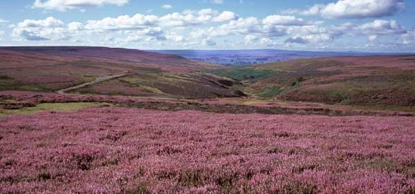 cropped-heather_moorland_ut.jpg